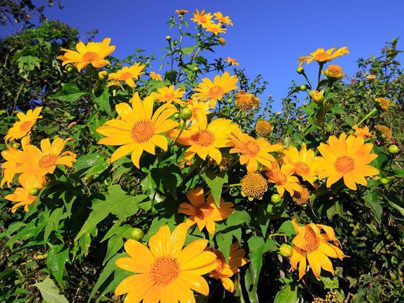 Đà Lạt vào mùa hoa dã quỳ vô cùng rực rỡ, xinh đẹp và đầy sức sống