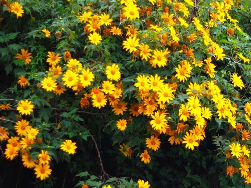 Con đường ngập tràn sắc màu của hoa dã quỳ